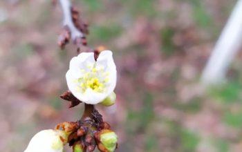 Аномальный январь  и цветущая алыча